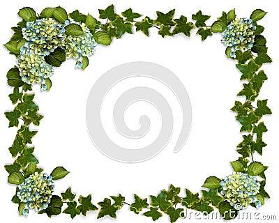Ivy border with Hydrangea flowers
