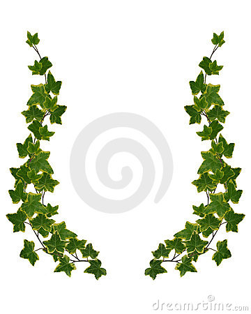 Ivy Borders isolated on white