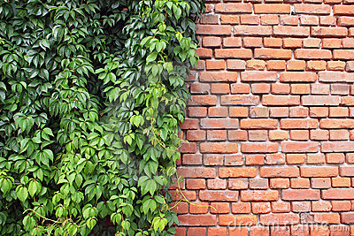 Ivy and bricks