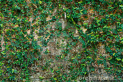 Ivy on brickwall