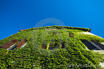 Ivy Covered House Wall