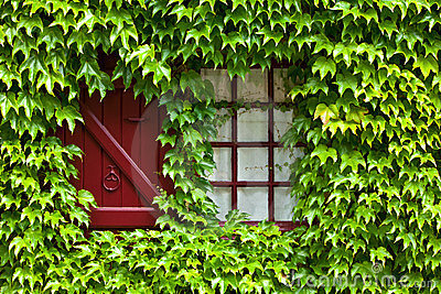 Ivy covered window and shutter