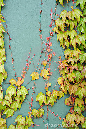 Ivy covering wall