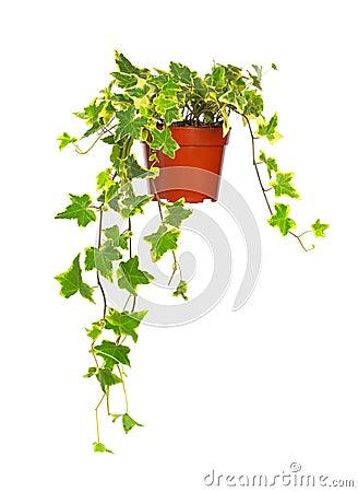 Ivy in flowerpot