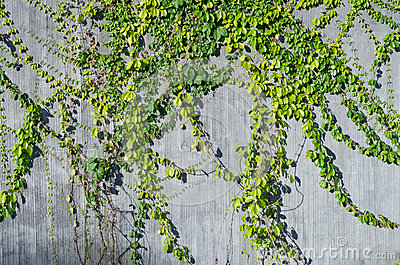 Ivy green on wall for decorate