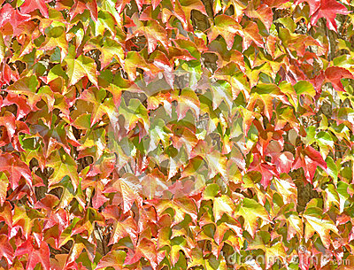 Ivy Growning up a Wall -  Background
