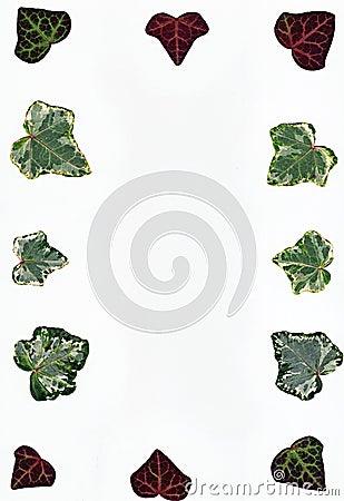 Ivy leaf border