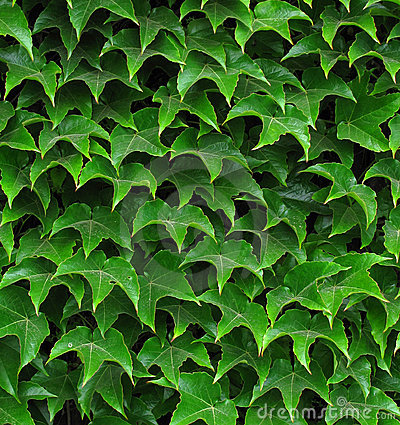 Free Ivy Leafs Stock Photo - 13636090