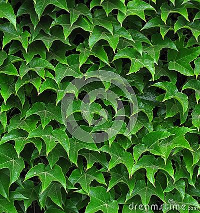 Ivy leafs
