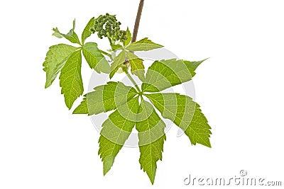 Ivy (Parthenocissus tricuspidata) in spring