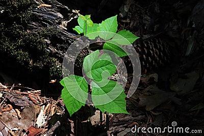 Ivy truciznę