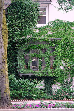 Ivy vine windows and wall