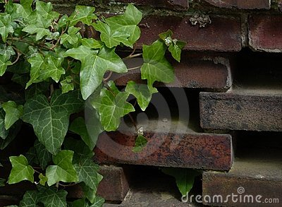 Ivy and Wall