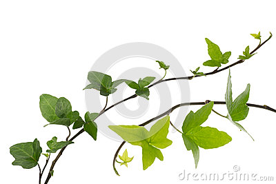 Ivy in a white background