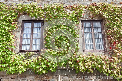 Ivy on the windows