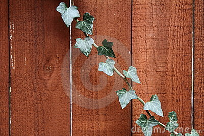 Ivy on wood