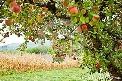 Jabłczanego sadu drzewa