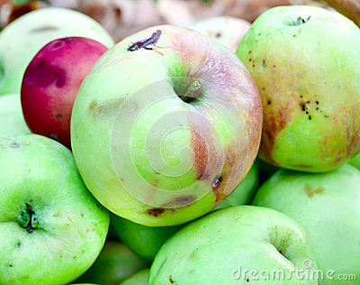 Jabłka w jesień ogródzie