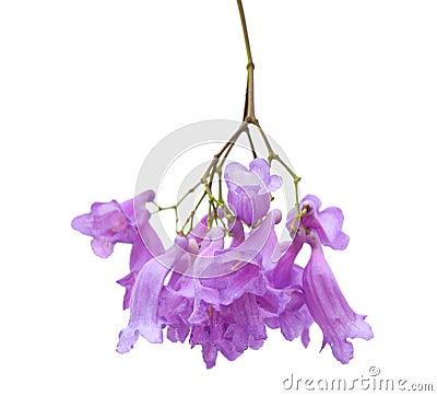 Free Jacaranda Flowers Isolated Stock Photography - 42177232