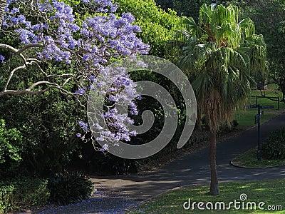 Jacaranda tree in bloom in Park