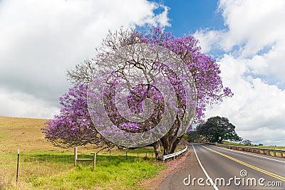 Jacaranda tree maui