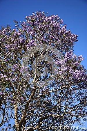 Jacaranda tree in Maui, Hawaii.