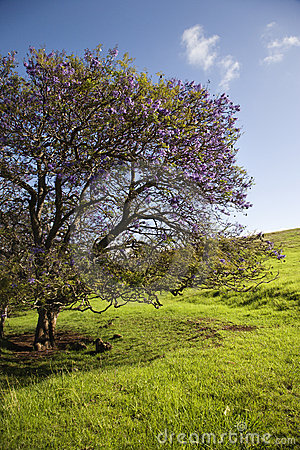 Jacaranda tree in Maui, Hawaii