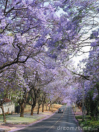 Jacaranda trees along the road in Pretoria, South Africa