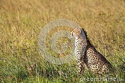 Jachtluipaard in Afrika