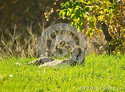 Jachtluipaard die in het gras ligt