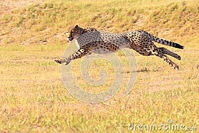 Jachtluipaard die snel loopt