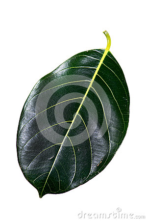 Jack fruit leaf