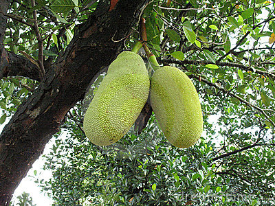 Jack fruit skin