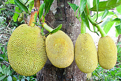 Jack fruit on tree