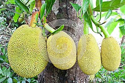 Jack fruit on tree