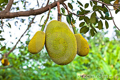 Jack fruit on the tree in garden