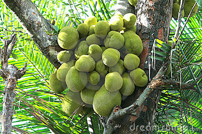 Jack Fruits