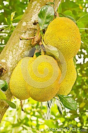 Jack fruits on tree in garden