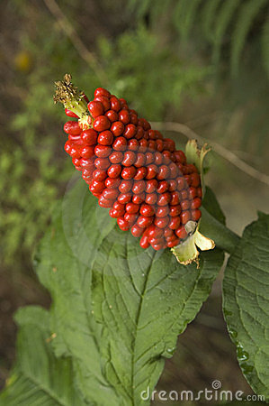Free Jack-in-the-pulpit Stock Photos - 13012683
