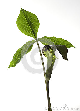Free Jack-in-the-pulpit On White Stock Photography - 41279152