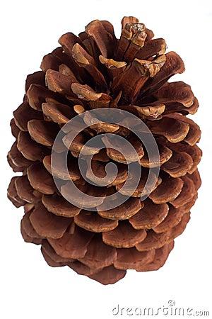 Jack pine cone