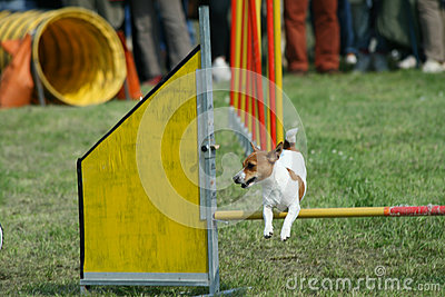 Jack russel and dog agility