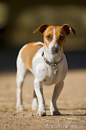 Jack Russel at eye level