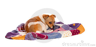 Jack russel on knitted blanket