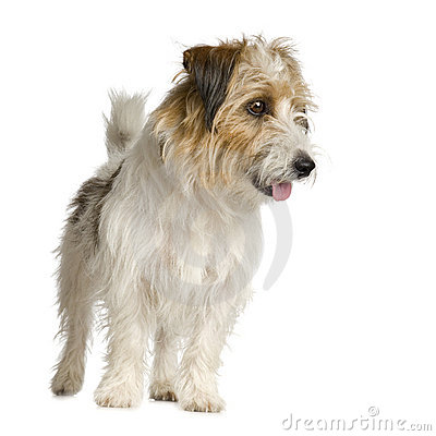 Jack russel long haired