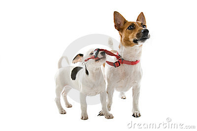 Jack russel pup with a grown up jack russel