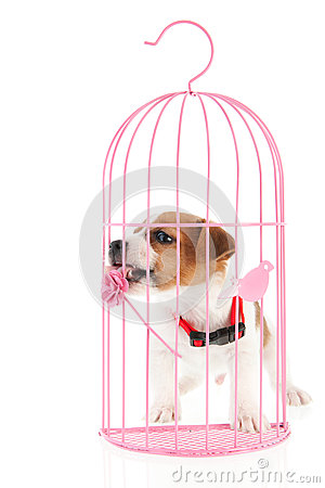 Jack Russel in romantic cage