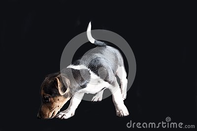 Jack Russel Puppy Stock Photo