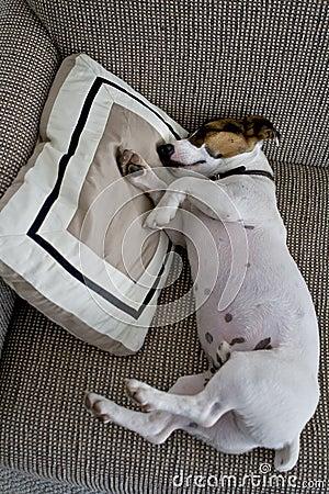 Jack russel sleeping on a pillow