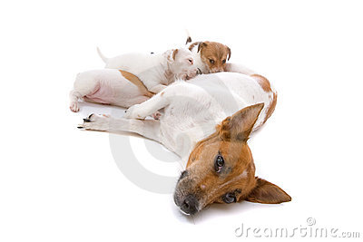 Jack russel terrier dog with drinking puppies
